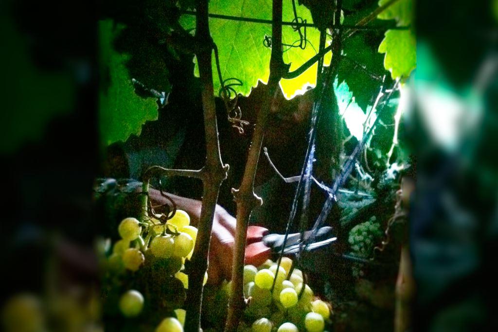 vinos-de-gran-canaria-vegadegaldar-masmediacanarias-28